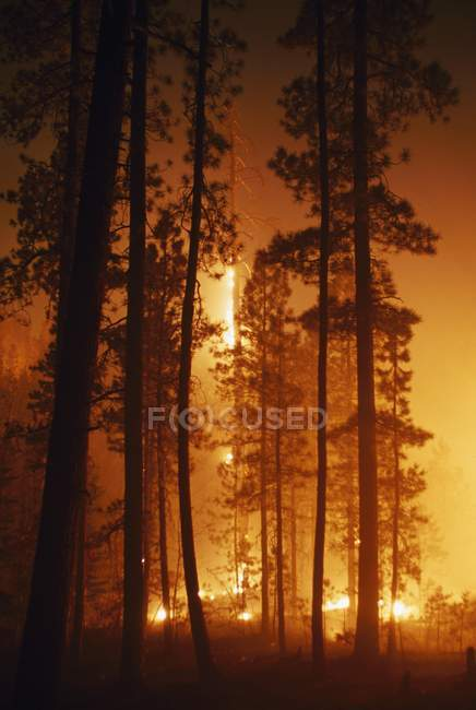 Prescribed Fire In Ponderoase Pine Forest — Stock Photo