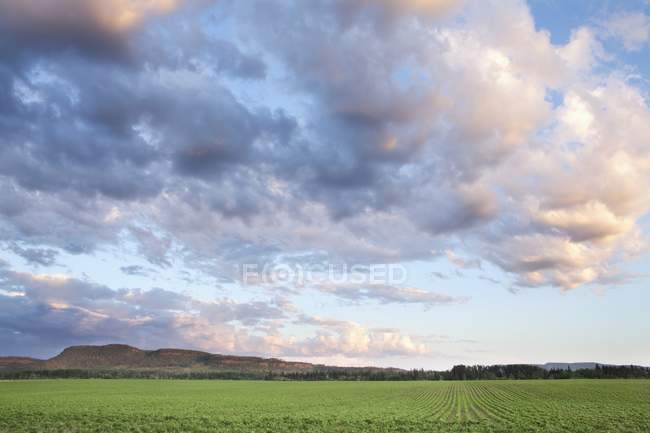 Campo de Feijões de Soja Ao Pôr do Sol — Fotografia de Stock