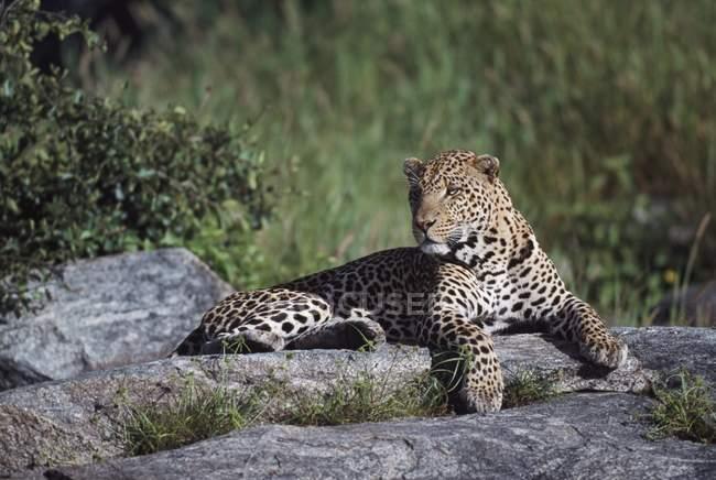 Леопард, лежа на камне — стоковое фото