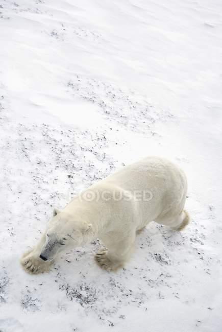 Oso polar caminando - foto de stock