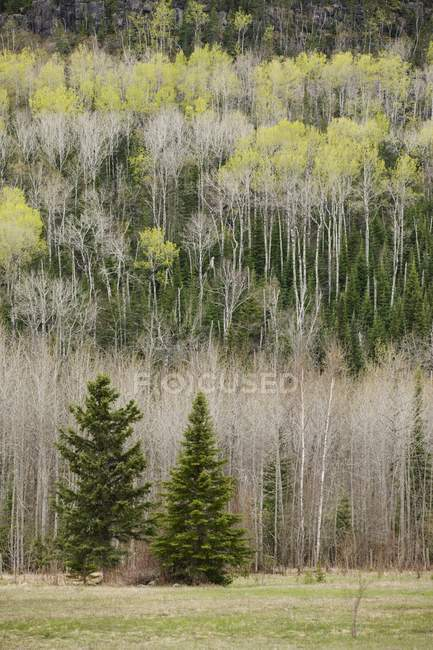 Two Evergreen Trees On A Mountain Side — Stock Photo