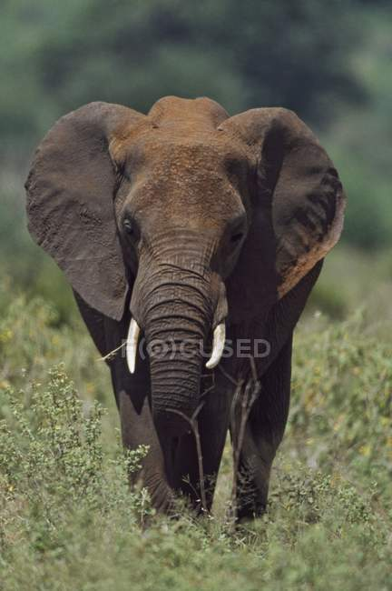 African Elephant standing over grass — Stock Photo