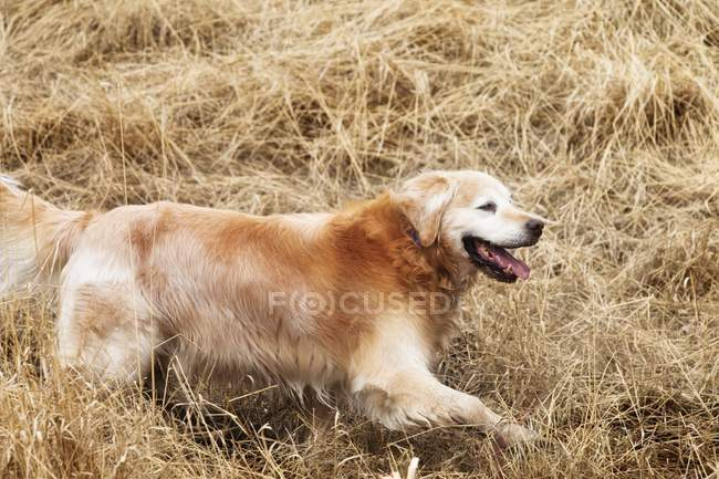 Golden retriever en cours d'exécution — Photo de stock