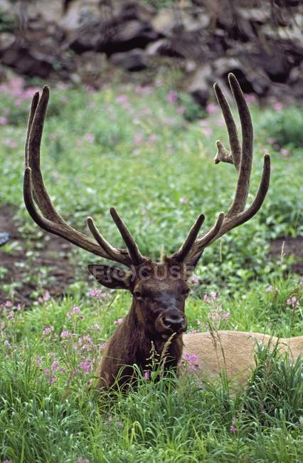 Bull Elk Resting — Stock Photo