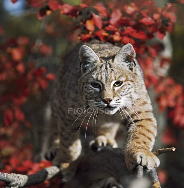 Bobcat прогулянки вздовж відділення — стокове фото