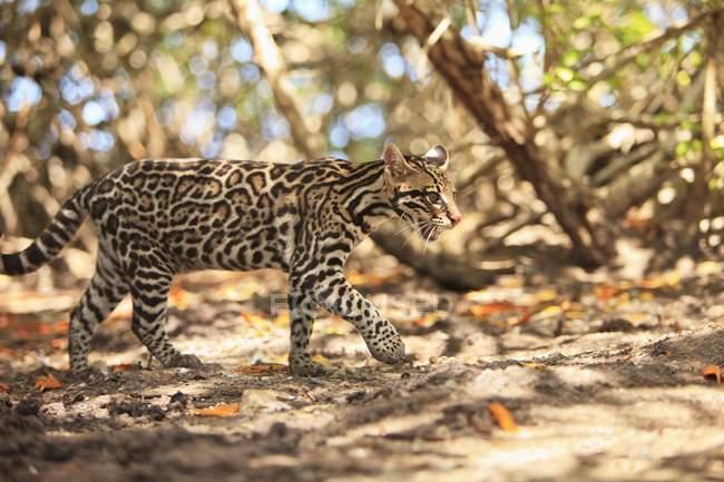 Jaguar caminando en bosque - foto de stock