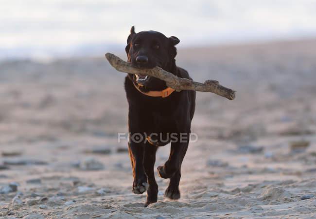 Schwarzer Labrador Retriever — Stockfoto
