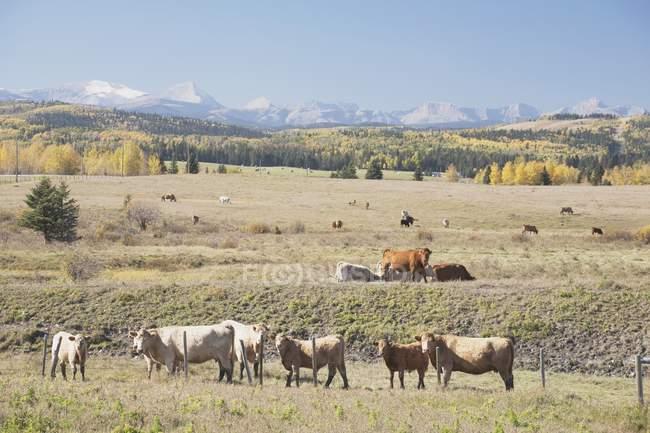Vieh weidete In herbstliche Ausläufern — Stockfoto