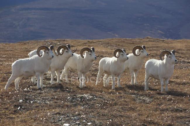 Band Of Dall Sheep Rams — Stock Photo
