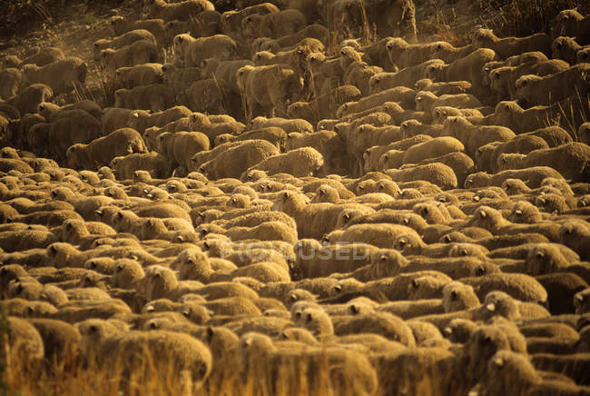Large flock of sheep bunched together — Stock Photo