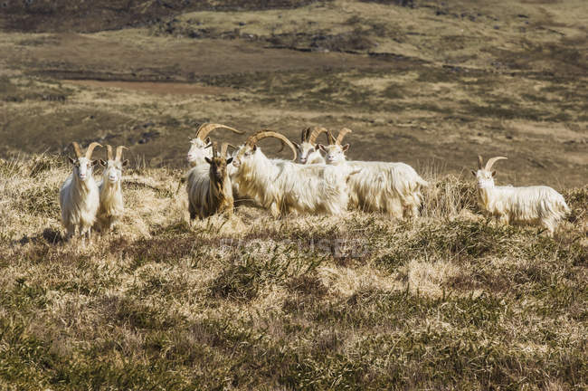 Mountain goats walking — Stock Photo