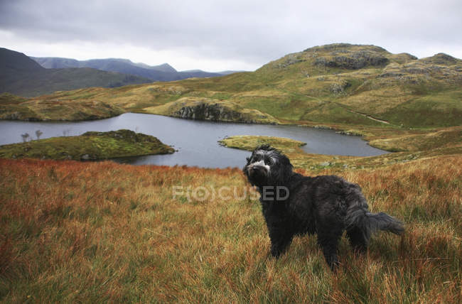 Черная собака стоит в траве — стоковое фото