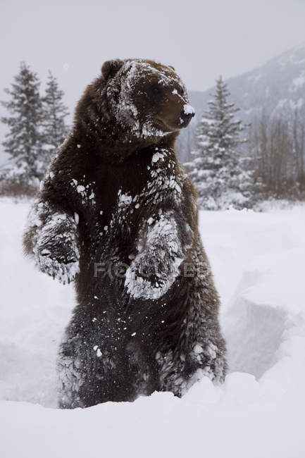 Captive: Grizzly Stands On Hind Feet During Winter At The Alaska Wildlife Conservation Center, Southcentral Alaska — Stock Photo