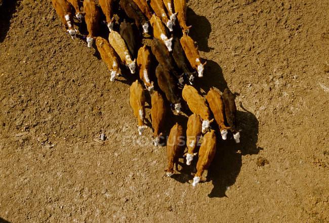 Говяжий скот на откормочной площадке — стоковое фото