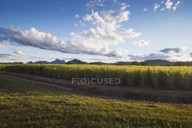 Plantações de cana-de-açúcar — Fotografia de Stock