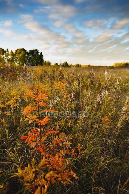 Rose orange Bush — Photo de stock