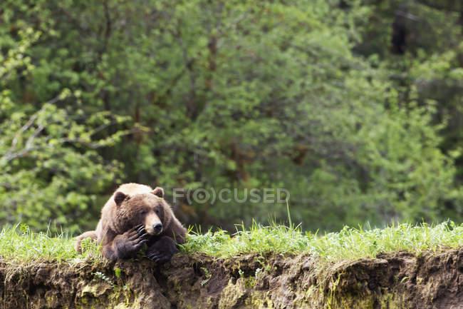 Grizzli couché sur l'herbe — Photo de stock