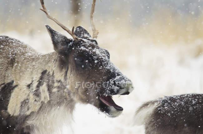Caraibico in tempesta di neve con la bocca aperta — Foto stock