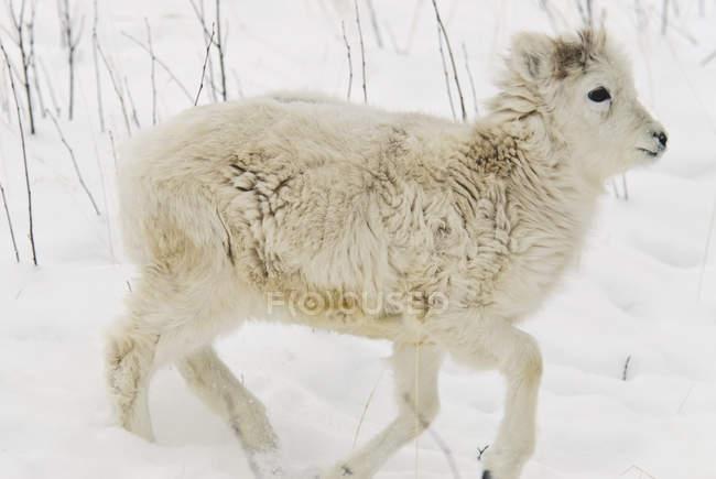 Dall sheep walking over snow — Stock Photo