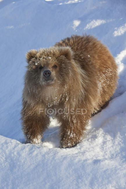 Brown Bear Cub On Snowy Hill — Stock Photo