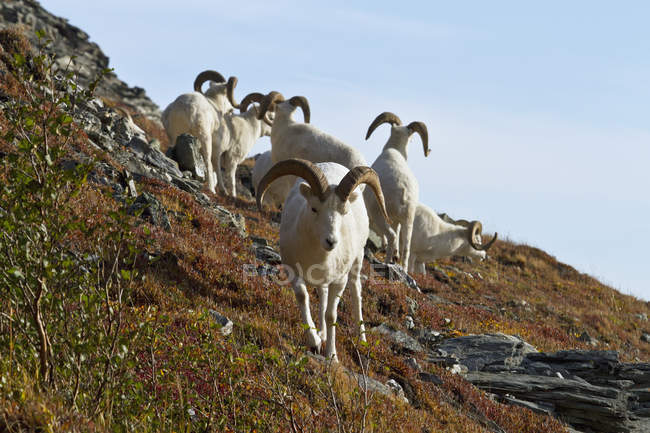 Dall's sheep rams on ridge in autumn — Stock Photo