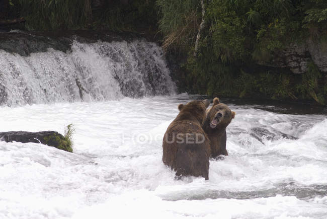 Brown bears sparing for salmon — Stock Photo