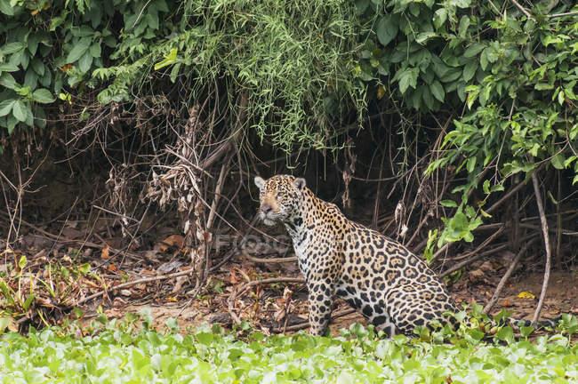 Jaguar hembra caza - foto de stock
