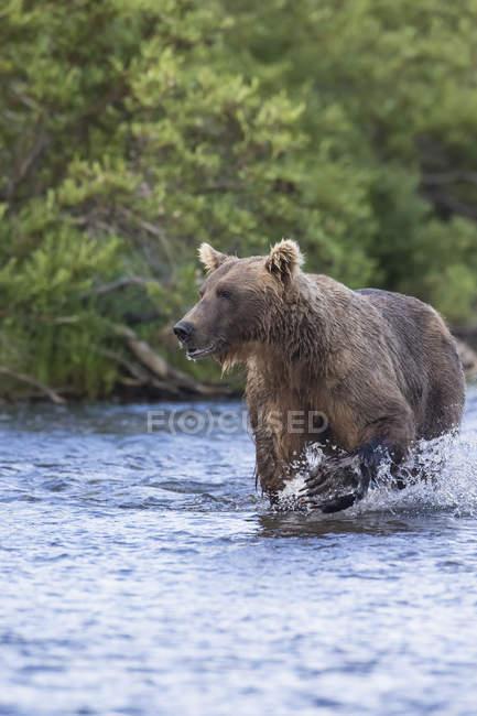 Бурий ведмідь, що йде по — стокове фото