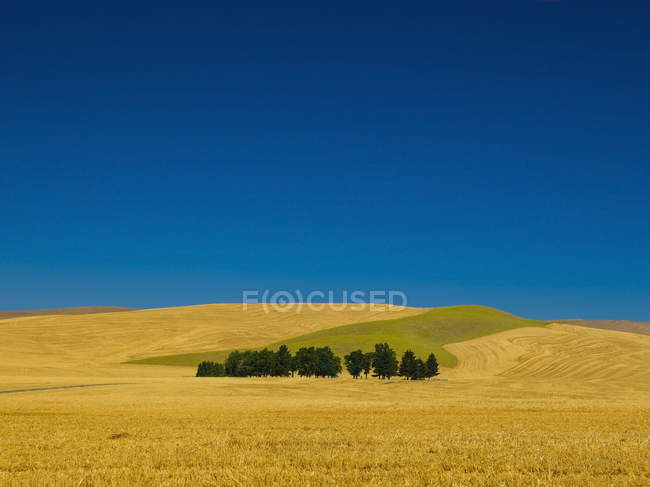 Cemetery with trees in wheat field — Stock Photo