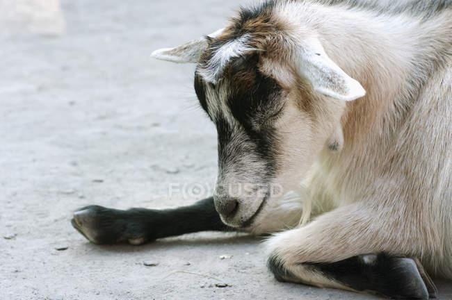 Коза в зоопарке Гранби — стоковое фото