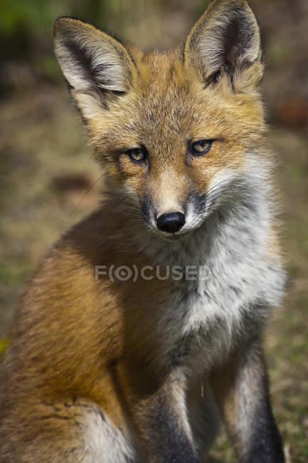 Un Kit de zorro mira a cámara - foto de stock