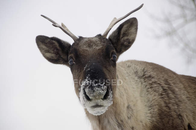 Woodland caribou yukon wildlife preserve — Stock Photo