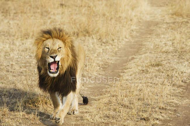 Лев позіхаючи як прогулянки вниз — стокове фото
