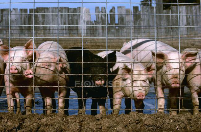 Hogares con etiquetas en las orejas en las instalaciones de confinamiento de cerdos. Iowa, Estados Unidos . - foto de stock