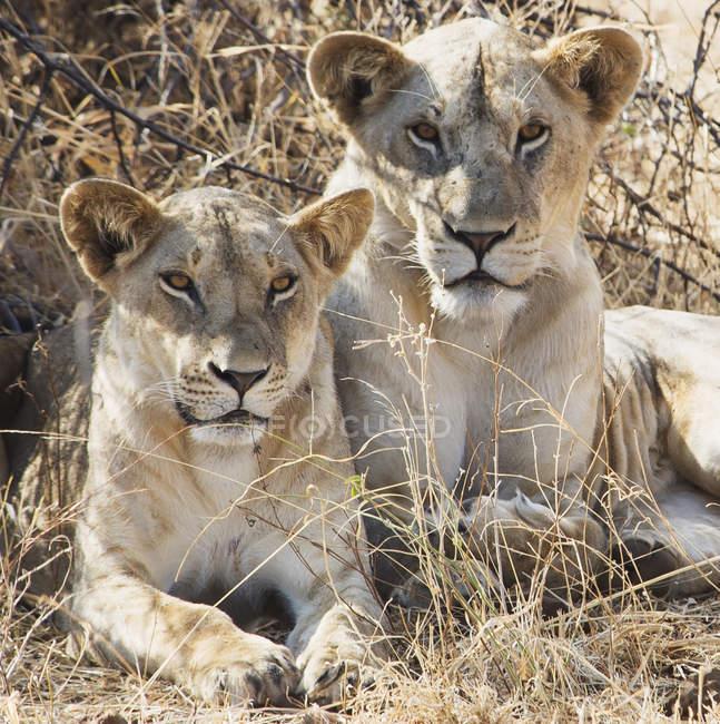 Due leoni femminili — Foto stock