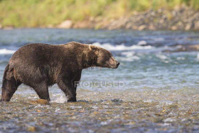 Brown bear walking in acque poco profonde — Foto stock
