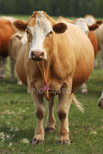 Mucca da macello incroci — Foto stock