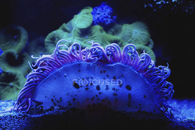 Blue coral underwater on black background — Stock Photo