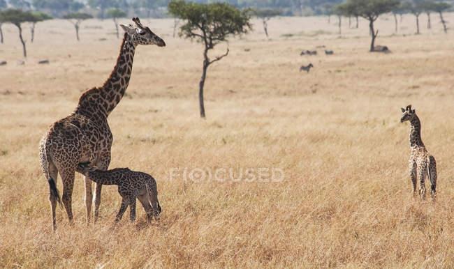 Жирафа з його молодих, Кенія — стокове фото