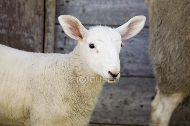 Granaio di legno baby agnello agains — Foto stock