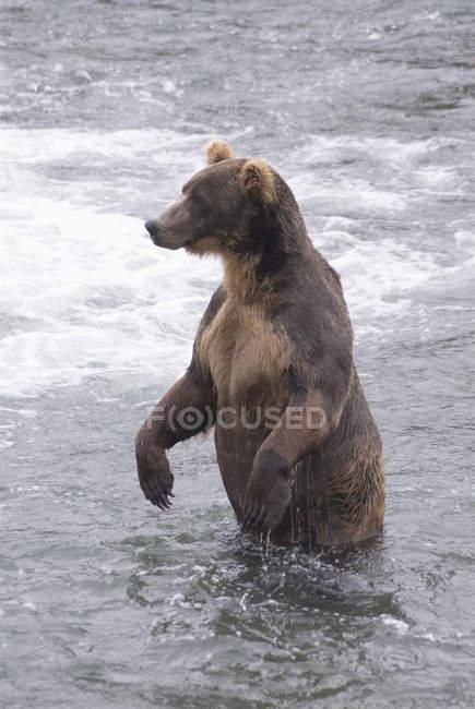 Orso Bruno in fiume — Foto stock