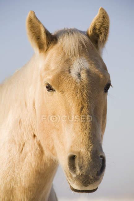 Crème tête de cheval de couleur — Photo de stock