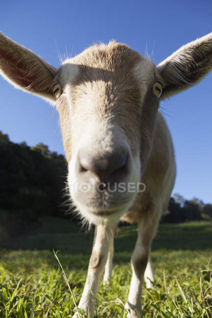 Close up of Goat nose — Stock Photo