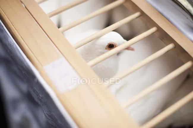 Taube mit Gesicht sichtbar — Stockfoto