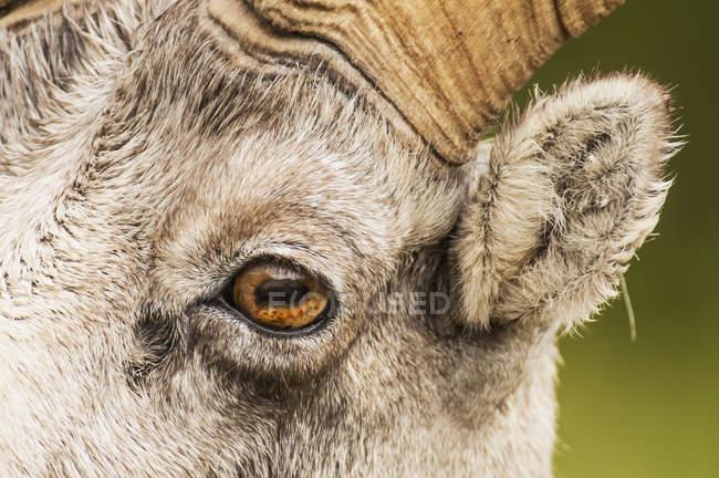 Occhio di pecore di pietra — Foto stock
