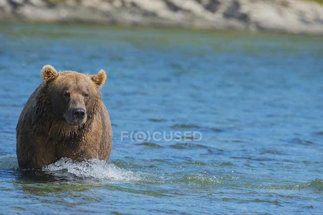 Brown bear walking in water — Stock Photo