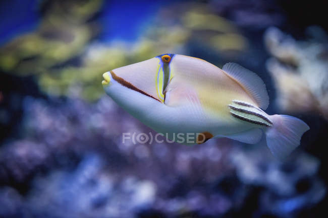 Pesce balestra Picasso nuoto — Foto stock