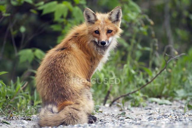 Лисиця звичайна жінка стоїть на ліс — стокове фото