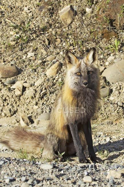 Cross fox сидит и позирует — стоковое фото