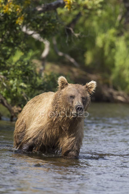 Brown bear standing wet — Stock Photo